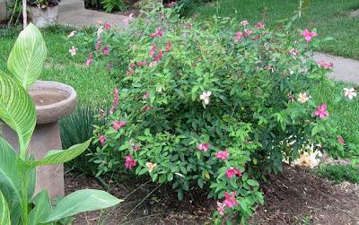 Annieinaustin,Mutabilis rose