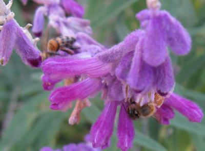 Salvia leucantha,bee,AnnieinAustin