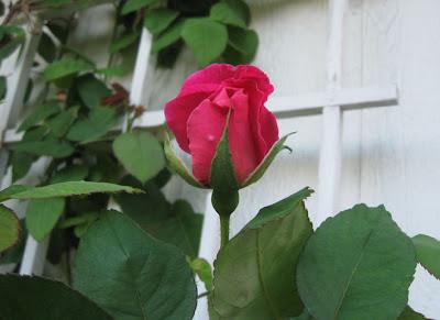 Pink rosebud,AnnieinAustin