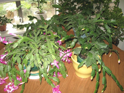 Thanksgiving Cactus,Annieinaustin