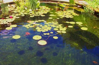 Annieinaustin,lilies on pond