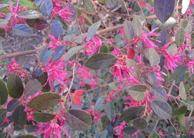 Loropetalum chinense,Annieinaustin
