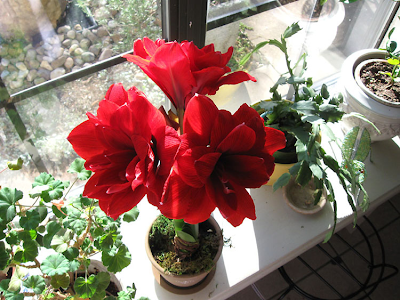 Annieinaustin,amaryllis Red Dragon