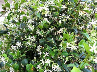 Annieinaustin, confederate jasmine