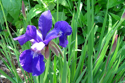Annieinaustin, siberian iris