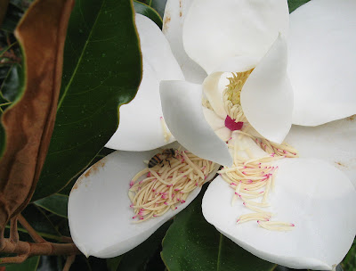 Annieinaustin, Little Gem magnolia flower
