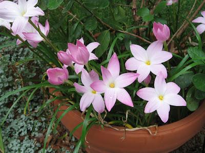 Annieinaustin, Labuffarosea rainlilies