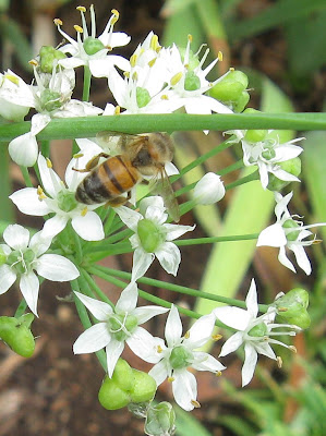 Annieinaustin, garlic chives and bee