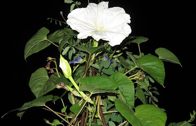 AnnieinAustin, Moonflower on Obelisk