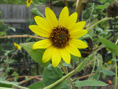 Annieninaustin, sunflower