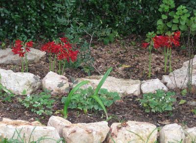 Annieinaustin, Oxblood Lilies in bulb bed