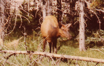 Annieinaustin, Yellowstone moose or elk