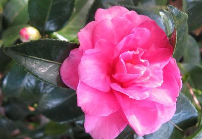 Annieinaustin,sasanqua flower