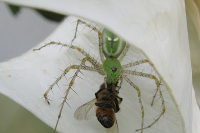 Annieinaustin,green spider & bee