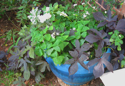 Annieinaustin,potato vine, blue pot