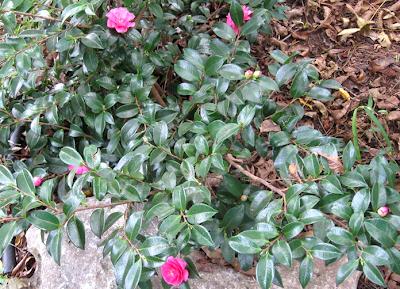 Annieinaustin,sasanqua shrub