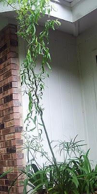 Annieinaustin,Corkscrew Willow