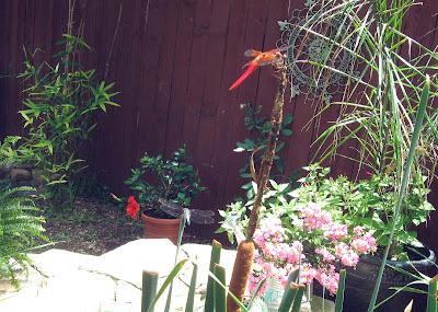 Annieinaustin, pond 5, blue red dragonflies