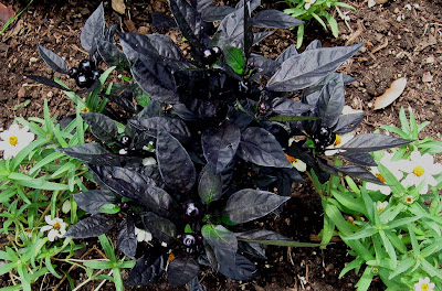 Annieinaustin, pond 7, black pearl peppers
