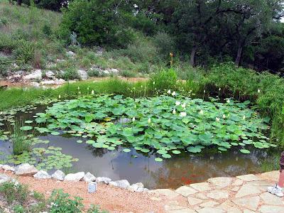 Annieinaustin, pond 8 lily pool