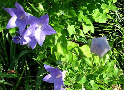 Annieinaustin, Platycodon Balloonflowers