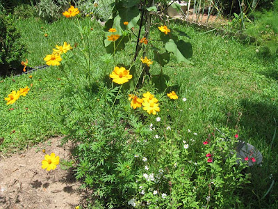 Annieinaustin, orange cosmos and salvias