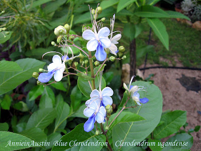 Annieinaustin,2010,July, Blue Clerodendron