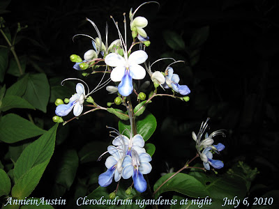 Annieinaustin, 2010, Clerodendrum ugandense at night