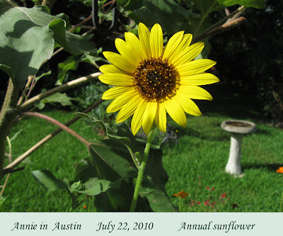 Annieinaustin, Annual Sunflower
