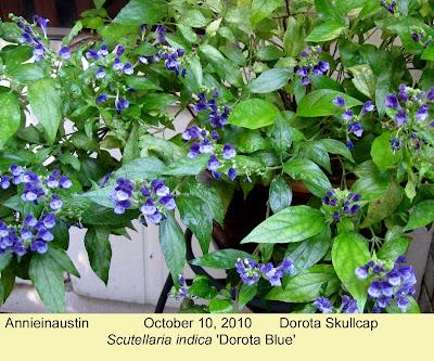 Annieinaustin, Scutellaria indica Dorota Blue
