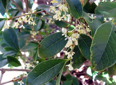 Annieinaustin, Sweet Olive, osmanthus fragrans