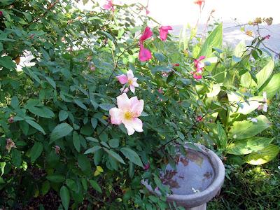 annieinaustin rosa mutabilis, bengal tiger canna