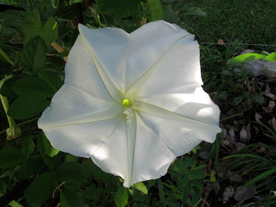 annieinaustin, moonflower vine