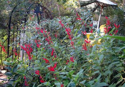 Annieinaustin, Salvia elegans, Pineapple sage