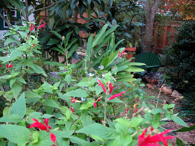 Annieinaustin, Pineapple sage and Blue Butterfly Clerodendron