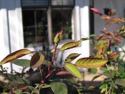 Annieinaustin, mutabilis rosebud