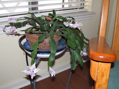 Annieinaustin, thanksgiving cactus in January