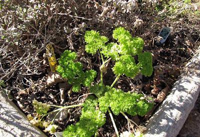 Annieinaustin,2011,02,parsley did not freeze