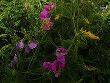 luktärter i trädgården