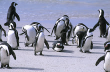 african penguins ~ boulders beach ~ south africa