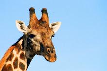 giraffe ~ hwange ~ zimbabwe