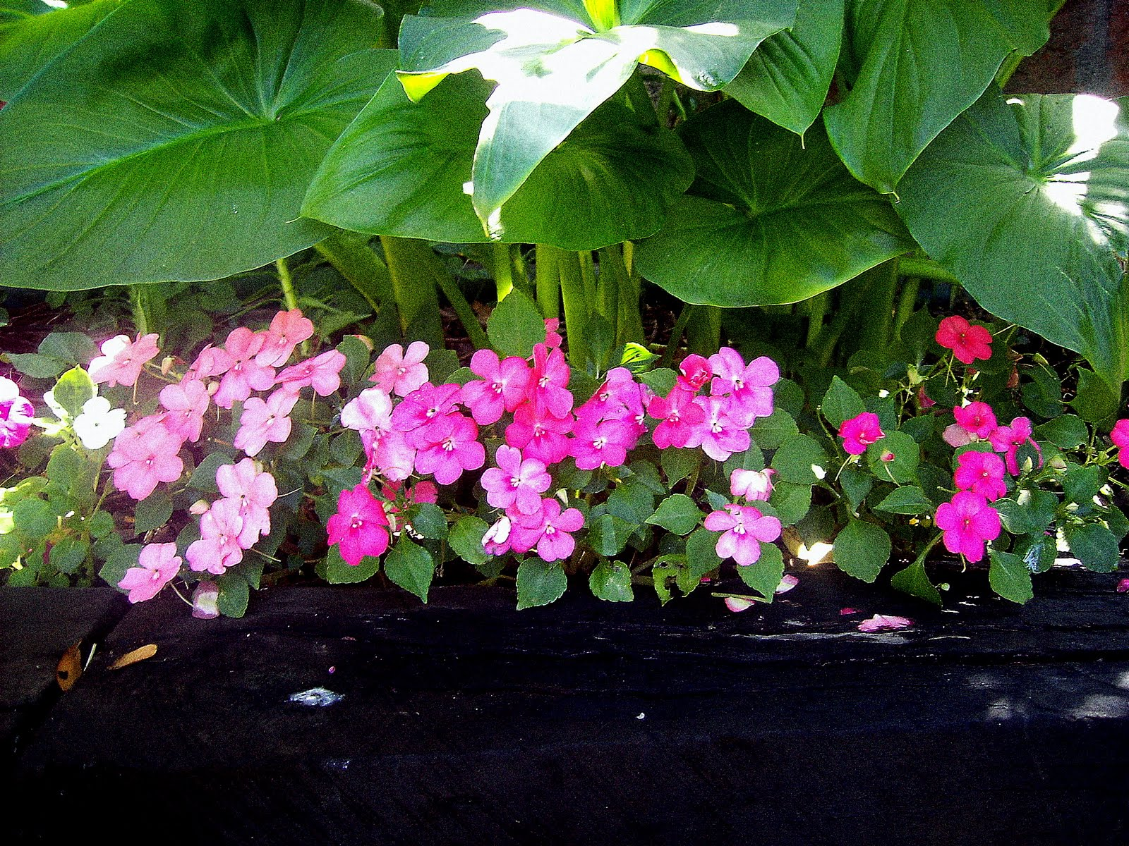 Greenberry 12 tips para 12 flores - Planta alegria del hogar ...