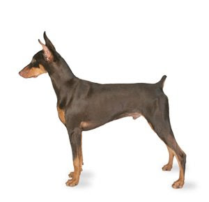 teacup doberman pinscher - group picture, image by tag ...