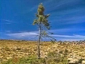 Inilah pohon tertua di dunia