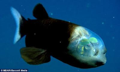 salah satu ikan yang pantas dibilang aneh. Pasalnya ota