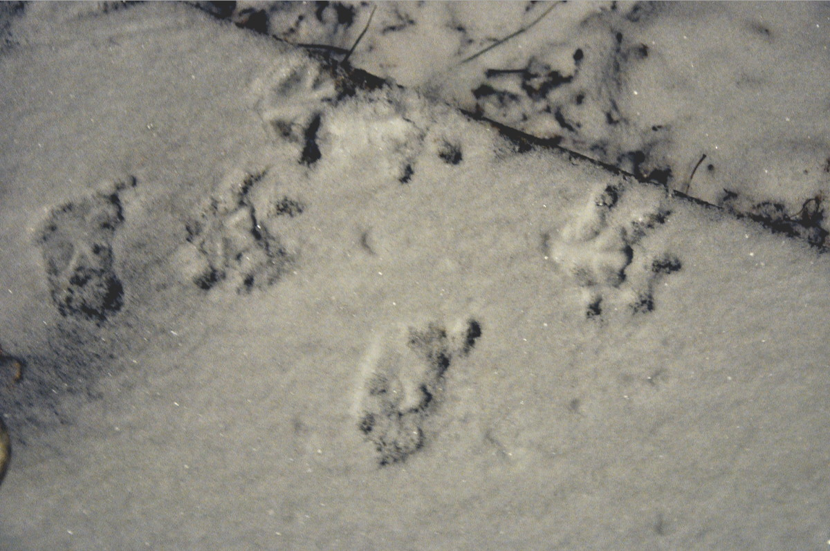 possum snow tracks