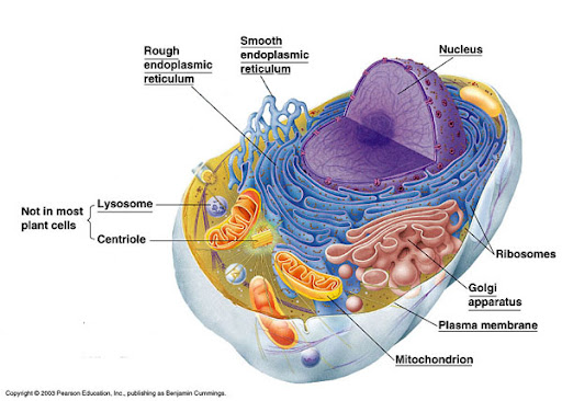 Animal Cell Not Labelled. animal cell labeled parts.