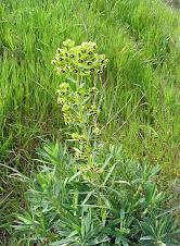Euphorbe characias en fleurs (2)