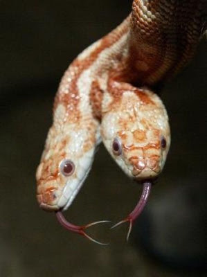 two headed snakes 21