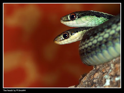 two headed snakes 12